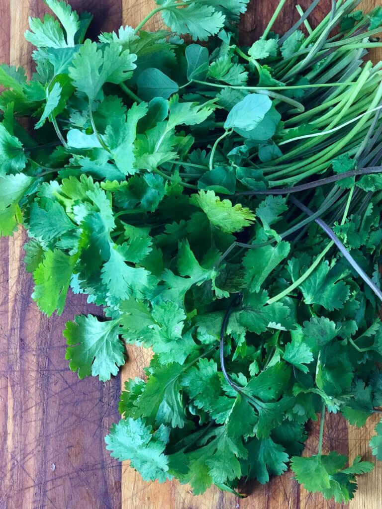Big bunch of bright green cilantro